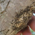 An application of BT-K before gypsy moth caterpillar eggs hatch can reduce an infestatation