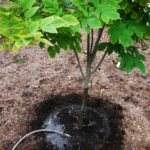 Any recently planted trees will need several big gulps of water to see them through the winter