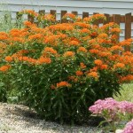 Asclepius (butterfly weed) attracts bees and butterflies