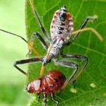 Assassin bugs aren't pretty, but they eat your garden's enemies