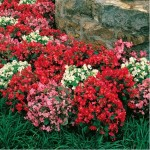 Bedding begonias make a terrific alternative to impatiens. Flowers are long-lasting and need no deadheading.