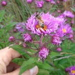 Bees have less food in autumn - like these asters - and can be more aggressive