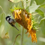 Birds will appreciate the seed heads you leave up