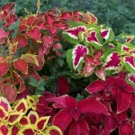 Coleus do very well in the shade and come in hundreds of cultivars with wonderful leaf patterns.