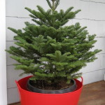 Consider a live Christmas tree that can be planted in your yard
