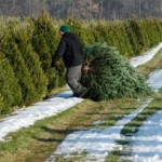 Cutting your own tree from a local tree farm makes for a 'greener' Christmas