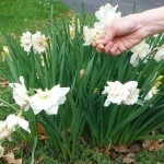 Deadhead bulbs as their blooms pass, but leave the foliage in place until it begins to yellow, which will likely be in July.