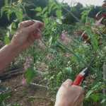 Early September is the time to trim back the growing ends of your tomato plants