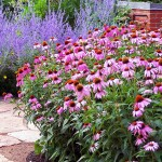 Echinacea (cone flower) is easy to grow, drought tolerant, and a great source of nectar