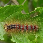 A gypsy moth caterpillar