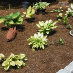 Hostas adapt well to dry environments and are great shade plants