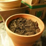 Leftover bulbs?  Don't compost them, plant them indoors!