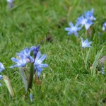 If you have Chionodoxa or other bulbs naturalized into your lawn, put off mowing until May
