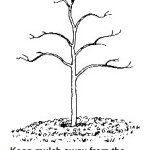 Keep mulch away from tree and shrub trunks