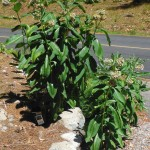 This milkweed grows along - and in - my driveway. It has a lovely sweet scent in July