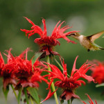 Monarda (bee balm) attracts not just bees but hummingbirds