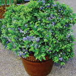 New cultivars of blueberries are colorful and well adapted to container gardening