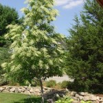 Tired of deadheading annuals and perennials? Consider summer-blooming trees like this oxydendrum that blooms in July and August