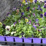 Pansies are tough and can take early April weather. Don't plant anything that can be killed or stunted by below-freezing weather until that danger is past.
