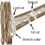 How to cut a tree branch properly.