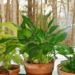 Spathiphyllum - more commonly called the peace lily - requires little light and retains its blooms for long periods