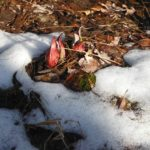 The skunk cabbage has emerged