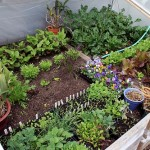 This cold frame will still be producing vegetables will into December.
