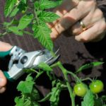 Topping your tomato vines at the beginning of September will make the plant put its energy into ripening fruit