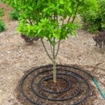 Use soaker hoses now to give tree roots the water they'll need to get through the winter