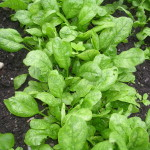 You can safely plant spinach now, and be picking before the end of the month.