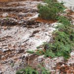 Your Christmas tree can have a second duty protecting tender plants