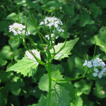 This is garlic mustard. It's a nasty invasive all across New England and it's in bloom this month.