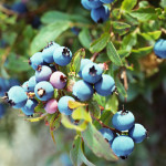 Give your blueberries the time they need to ripen